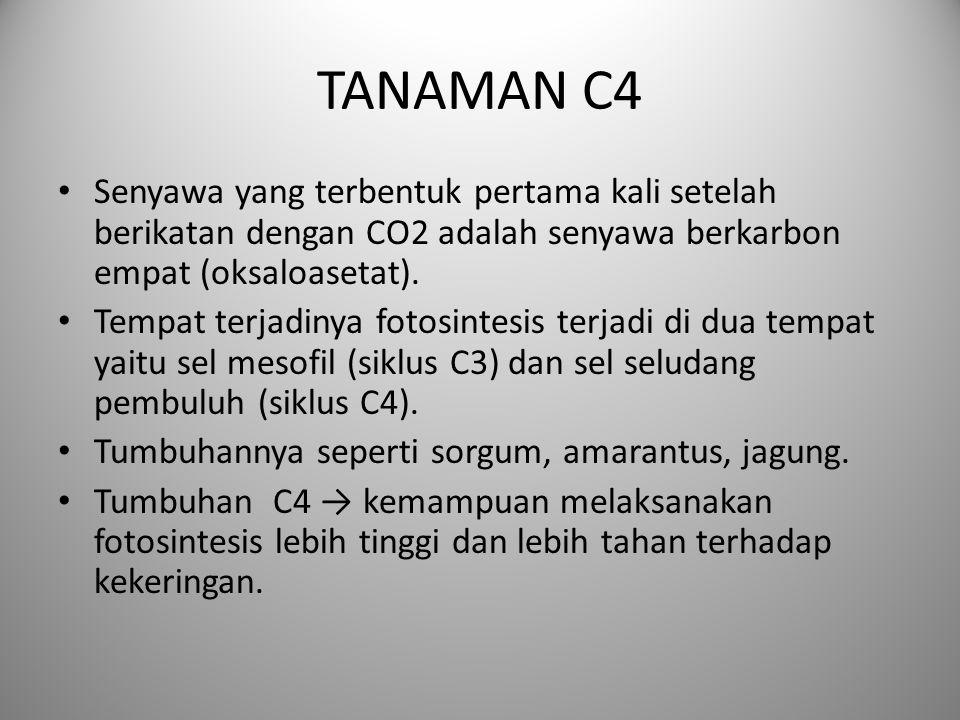 TANAMAN C4 Senyawa yang terbentuk pertama kali setelah berikatan dengan CO2 adalah senyawa berkarbon empat (oksaloasetat).
