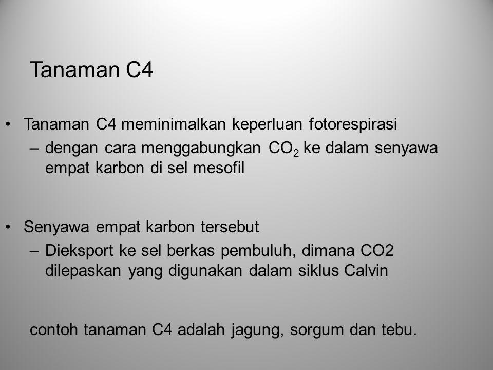 Tanaman C4 Tanaman C4 meminimalkan keperluan fotorespirasi