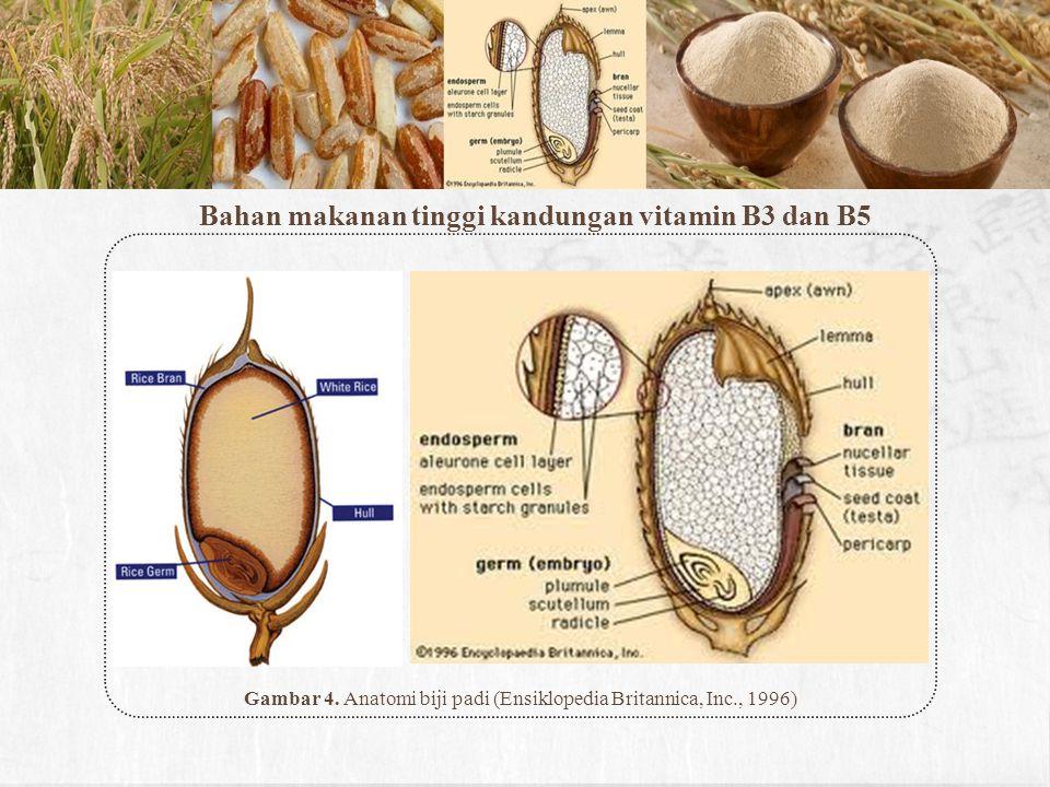 Gambar 4. Anatomi biji padi (Ensiklopedia Britannica, Inc., 1996)