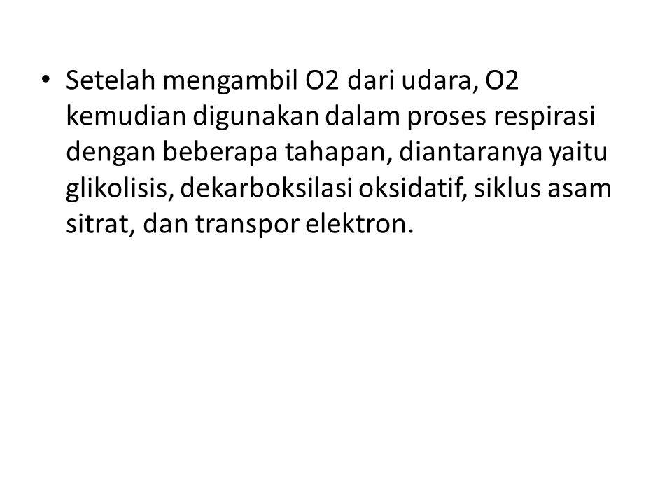 Setelah mengambil O2 dari udara, O2 kemudian digunakan dalam proses respirasi dengan beberapa tahapan, diantaranya yaitu glikolisis, dekarboksilasi oksidatif, siklus asam sitrat, dan transpor elektron.