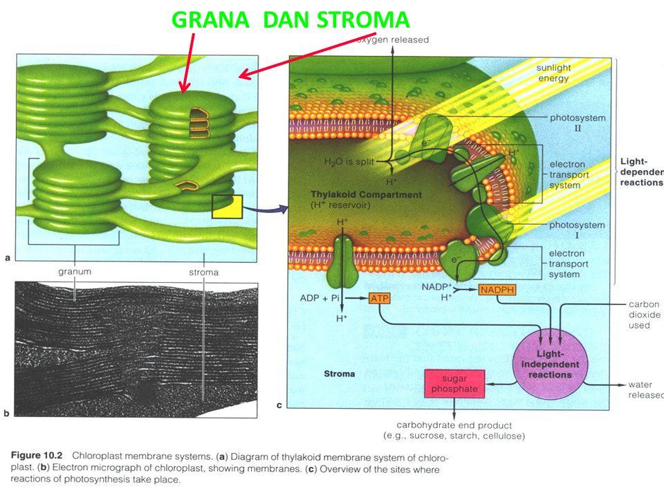 GRANA DAN STROMA as-bio-fmipa-upi