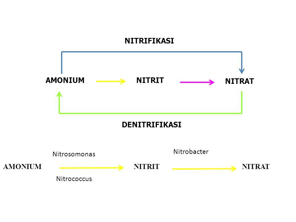 NITRIFIKASI AMONIUM. NITRIT. NITRAT. DENITRIFIKASI. Nitrobacter. Nitrosomonas. AMONIUM. NITRIT.
