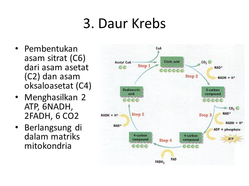 3. Daur Krebs Pembentukan asam sitrat (C6) dari asam asetat (C2) dan asam oksaloasetat (C4) Menghasilkan 2 ATP, 6NADH, 2FADH, 6 CO2.