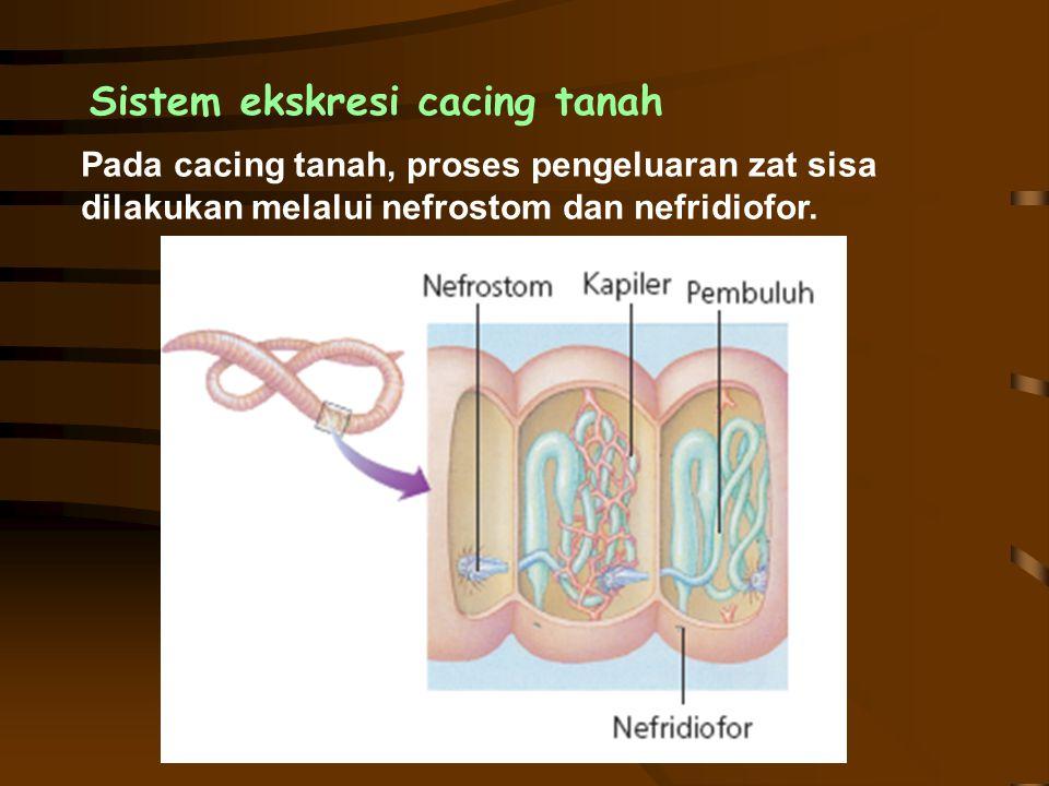 Sistem ekskresi cacing tanah