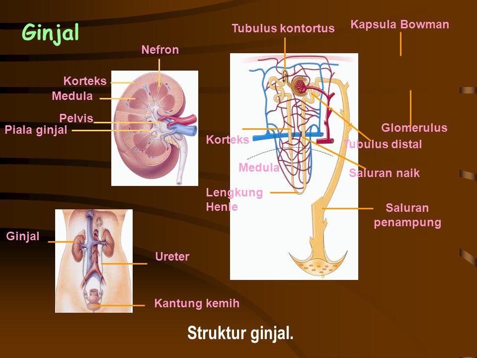Ginjal Struktur ginjal. Kapsula Bowman Tubulus kontortus Nefron