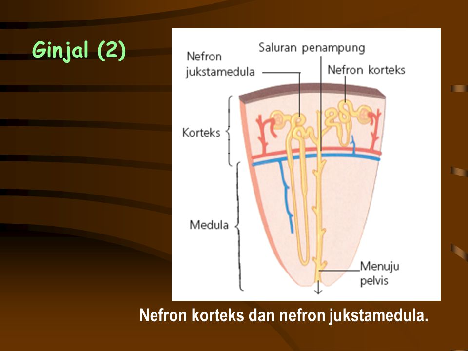 Nefron korteks dan nefron jukstamedula.