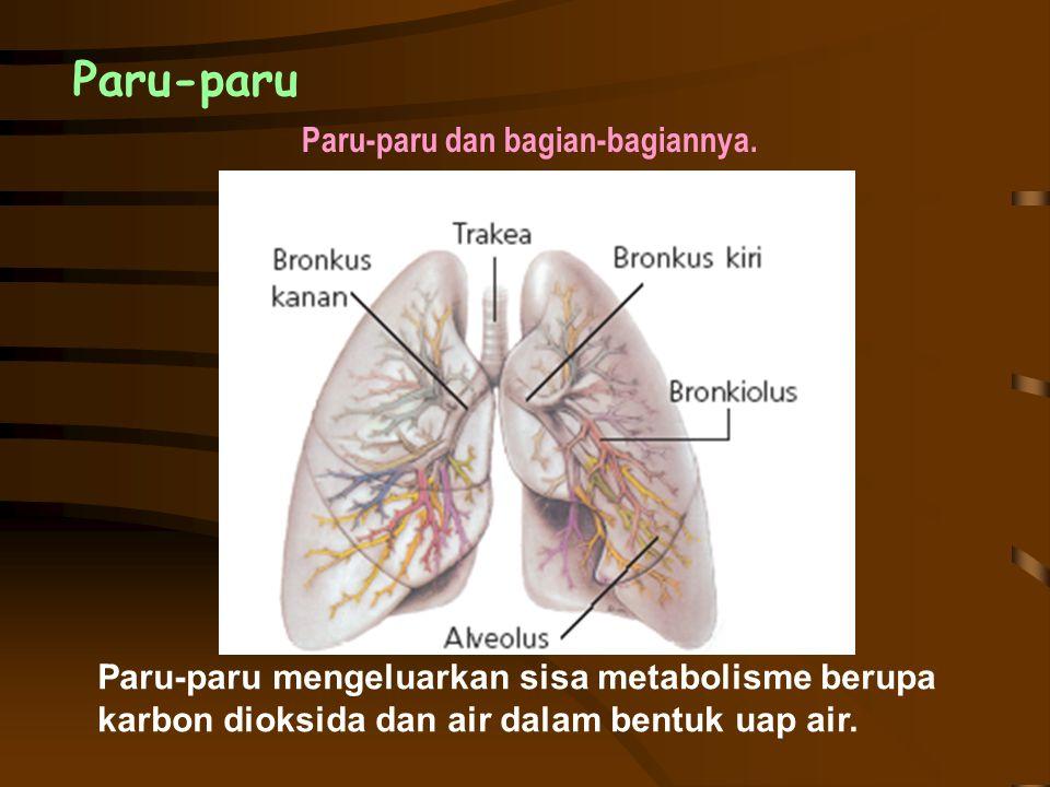 Paru-paru dan bagian-bagiannya.
