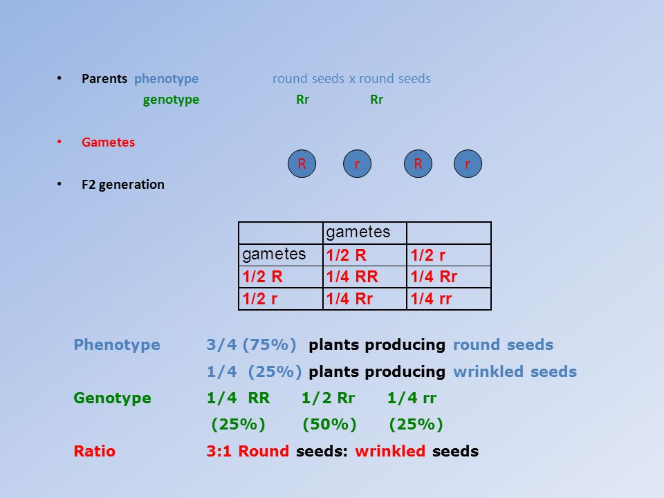 R r R r Parents phenotype round seeds x round seeds genotype Rr Rr