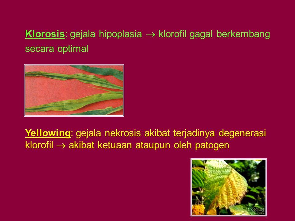 Klorosis: gejala hipoplasia  klorofil gagal berkembang secara optimal
