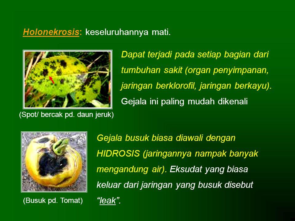 (Spot/ bercak pd. daun jeruk)