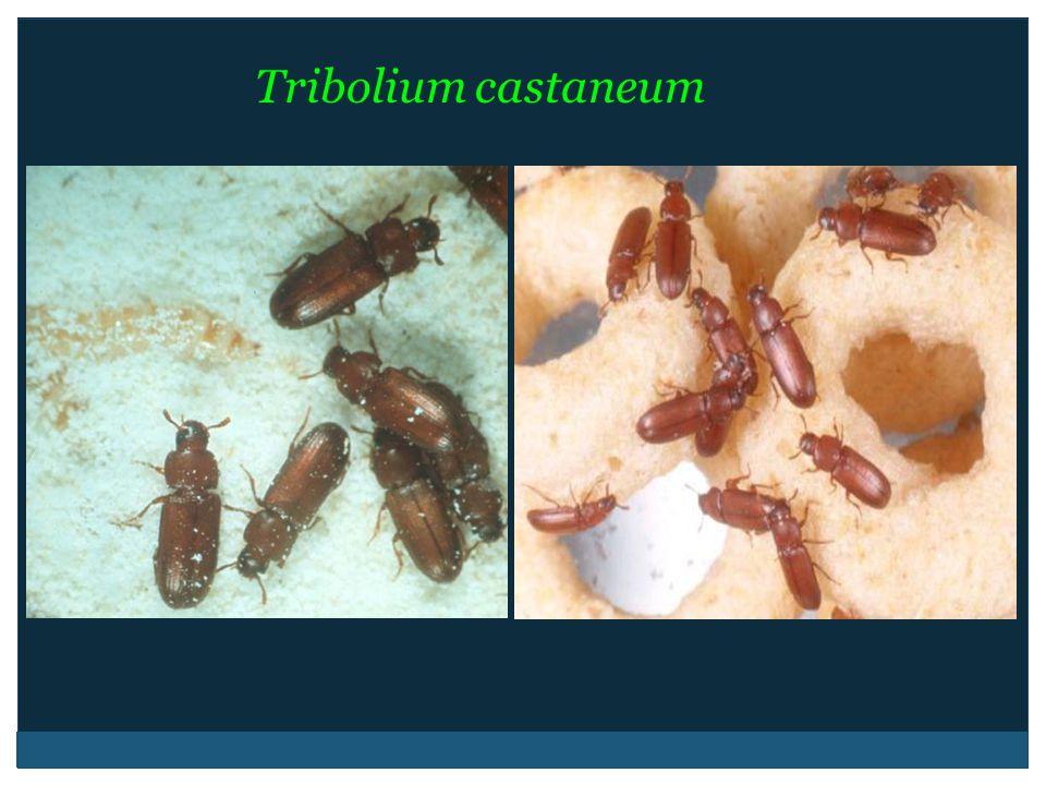 Tribolium castaneum