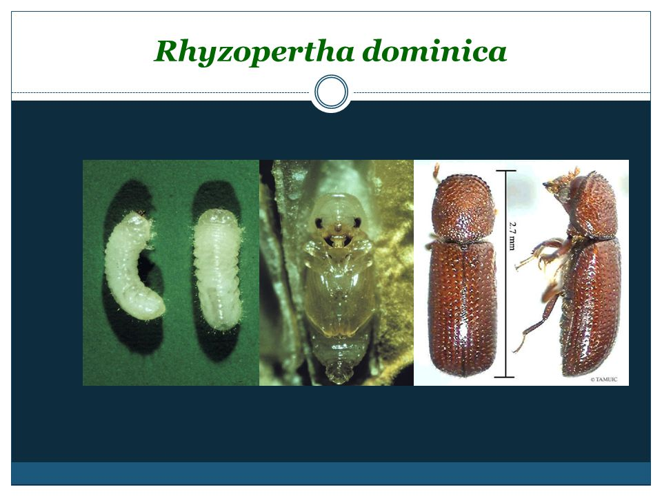 Rhyzopertha dominica