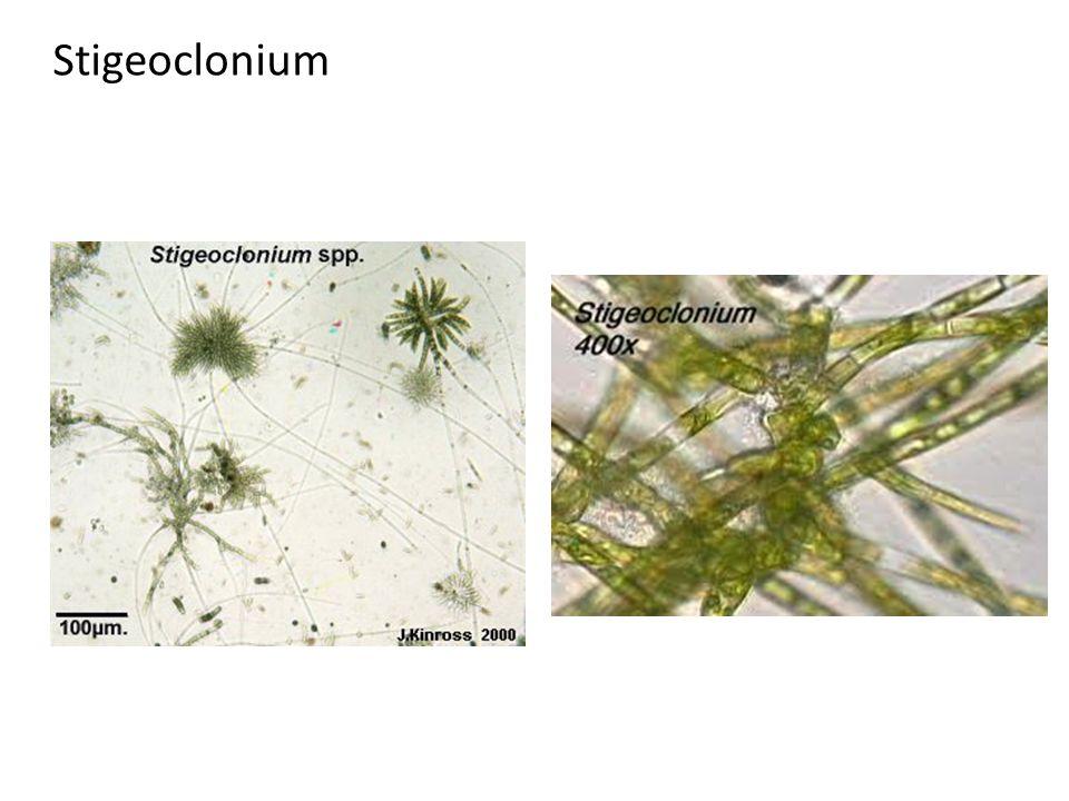 Stigeoclonium