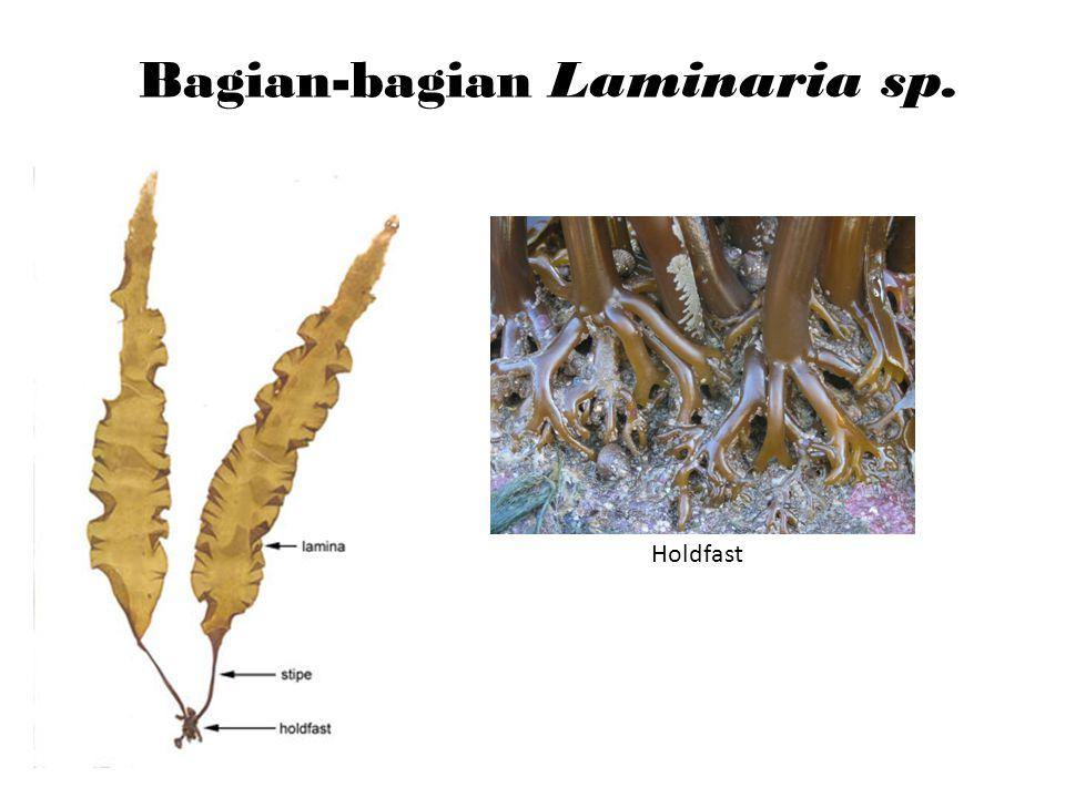 Bagian-bagian Laminaria sp.