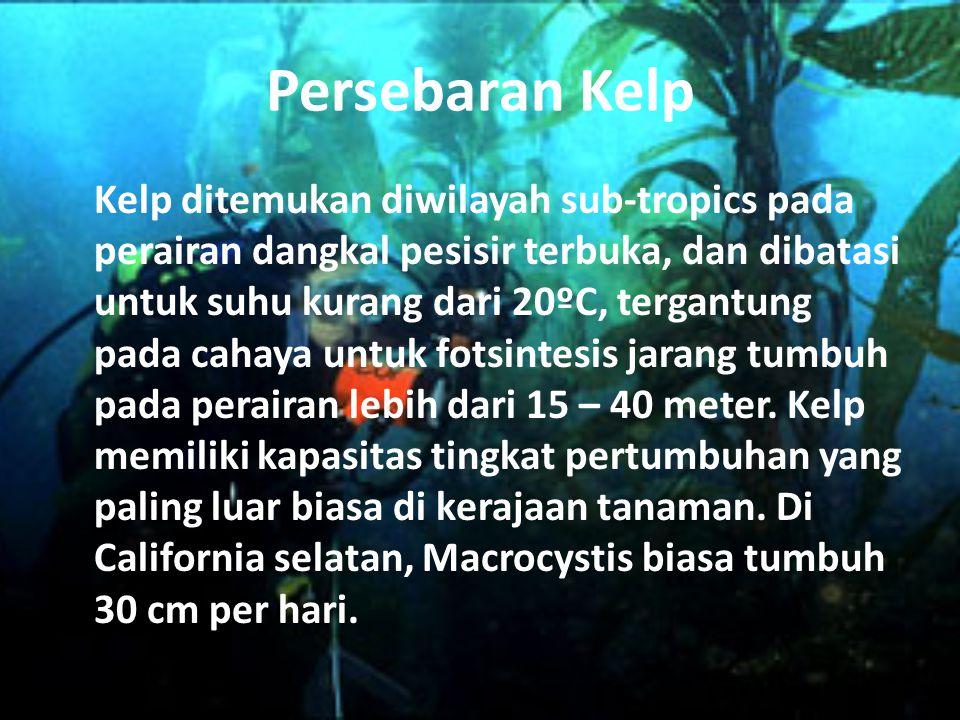 Persebaran Kelp