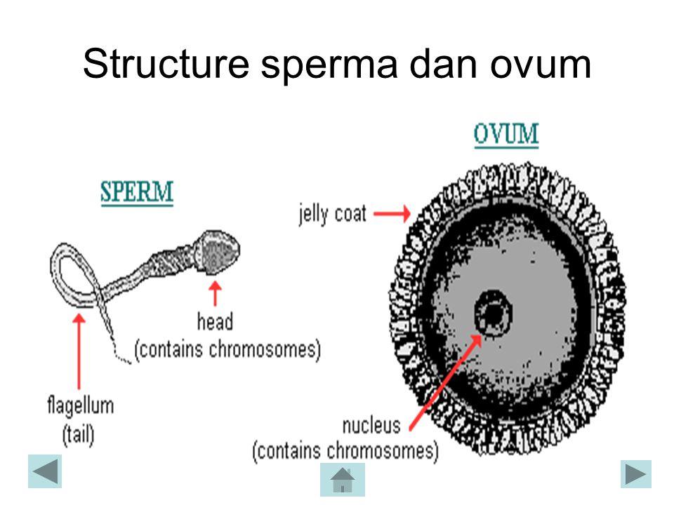 Structure sperma dan ovum