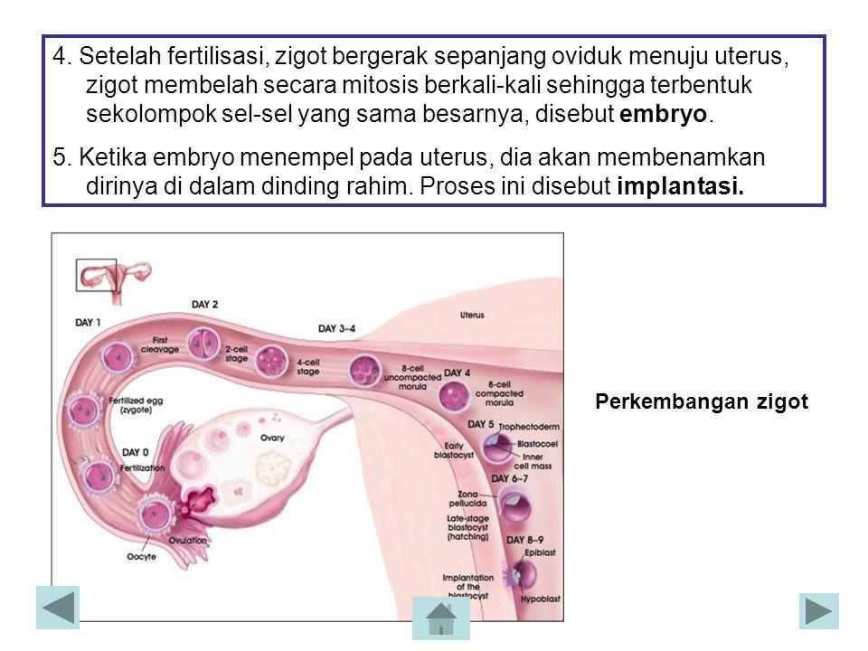 4. Setelah fertilisasi, zigot bergerak sepanjang oviduk menuju uterus, zigot membelah secara mitosis berkali-kali sehingga terbentuk sekolompok sel-sel yang sama besarnya, disebut embryo.