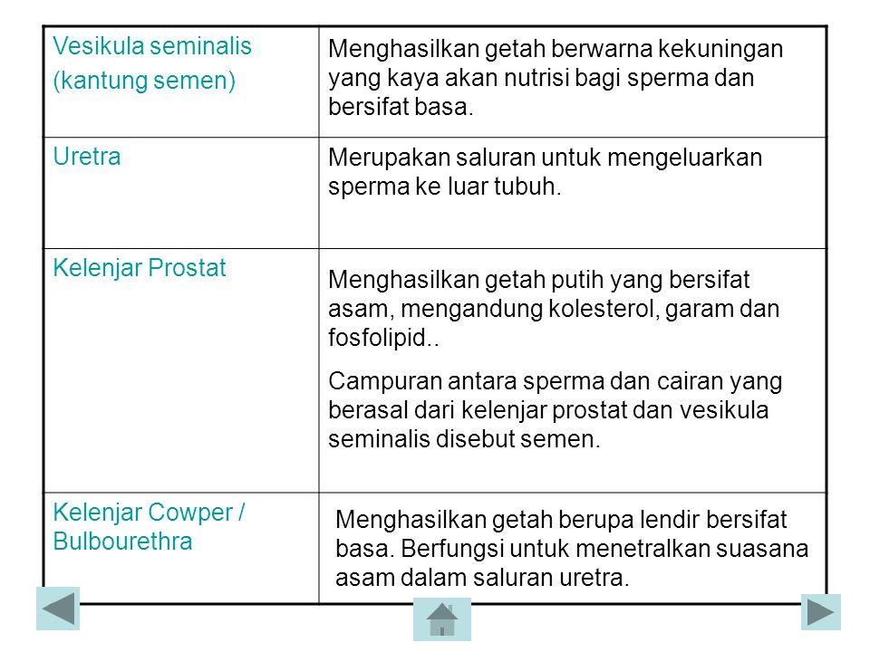 Vesikula seminalis (kantung semen) Uretra. Kelenjar Prostat. Kelenjar Cowper / Bulbourethra.