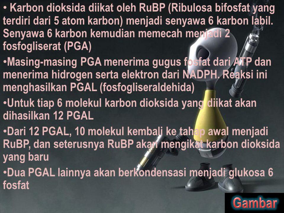 Karbon dioksida diikat oleh RuBP (Ribulosa bifosfat yang terdiri dari 5 atom karbon) menjadi senyawa 6 karbon labil. Senyawa 6 karbon kemudian memecah menjadi 2 fosfogliserat (PGA)