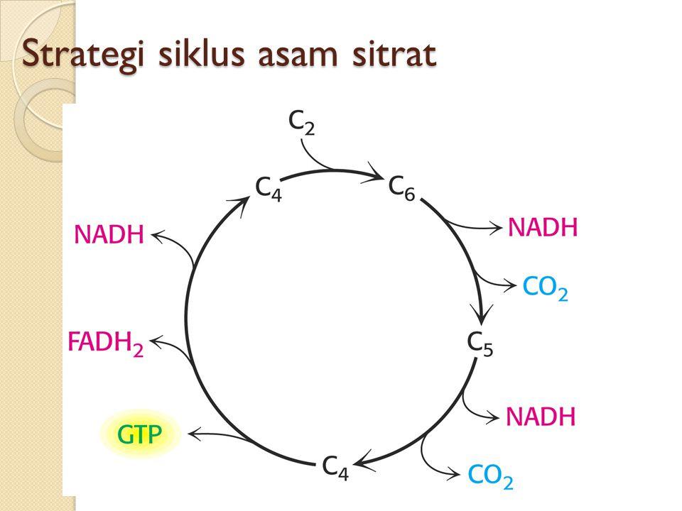 Strategi siklus asam sitrat