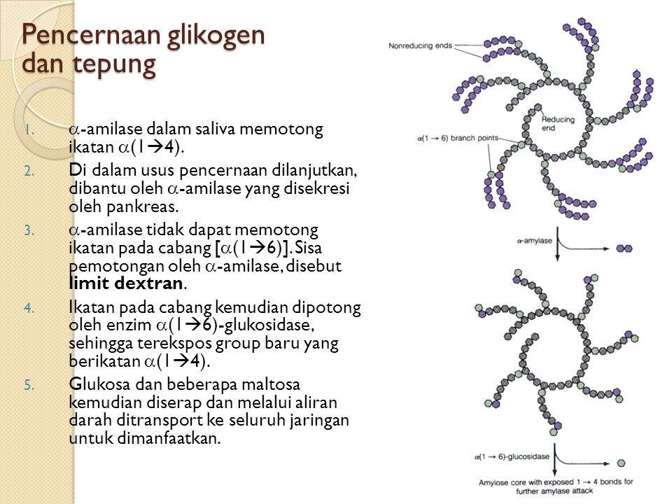 Pencernaan glikogen dan tepung