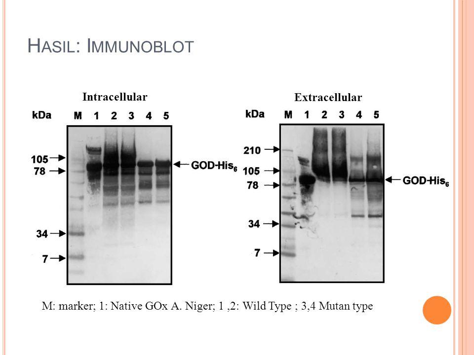 Hasil: Immunoblot Intracellular Extracellular