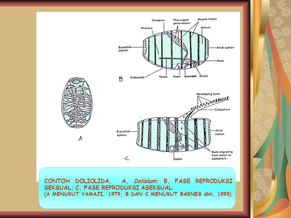 CONTOH DOLIOLIDA. A, Doliolum; B, FASE REPRODUKSI SEKSUAL; C, FASE REPRODUKSI ASEKSUAL