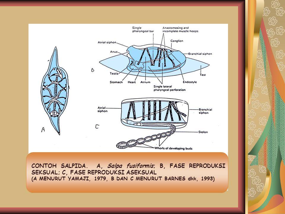 CONTOH SALPIDA. A, Salpa fusiformis; B, FASE REPRODUKSI SEKSUAL; C, FASE REPRODUKSI ASEKSUAL