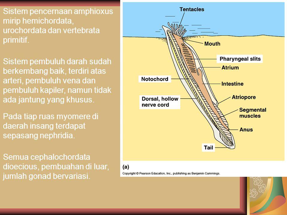 Sistem pencernaan amphioxus mirip hemichordata, urochordata dan vertebrata primitif.