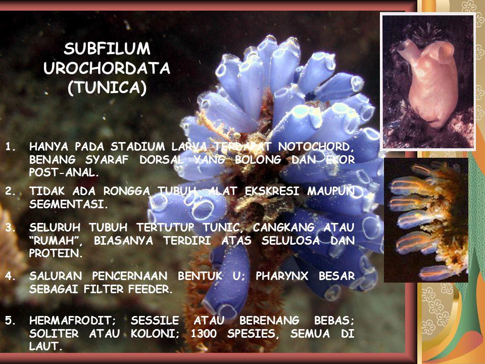 SUBFILUM UROCHORDATA (TUNICA)