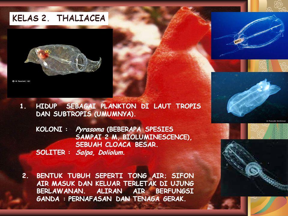 KELAS 2. THALIACEA 1. HIDUP SEBAGAI PLANKTON DI LAUT TROPIS DAN SUBTROPIS (UMUMNYA). KOLONI : Pyrasoma (BEBERAPA SPESIES.