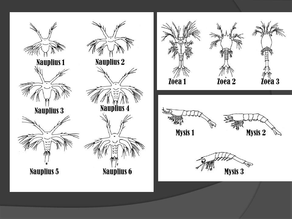 Nauplius 1 Nauplius 2. Zoea 1. Zoea 2. Zoea 3. Nauplius 4. Nauplius 3. Mysis 1. Mysis 2. Nauplius 5.