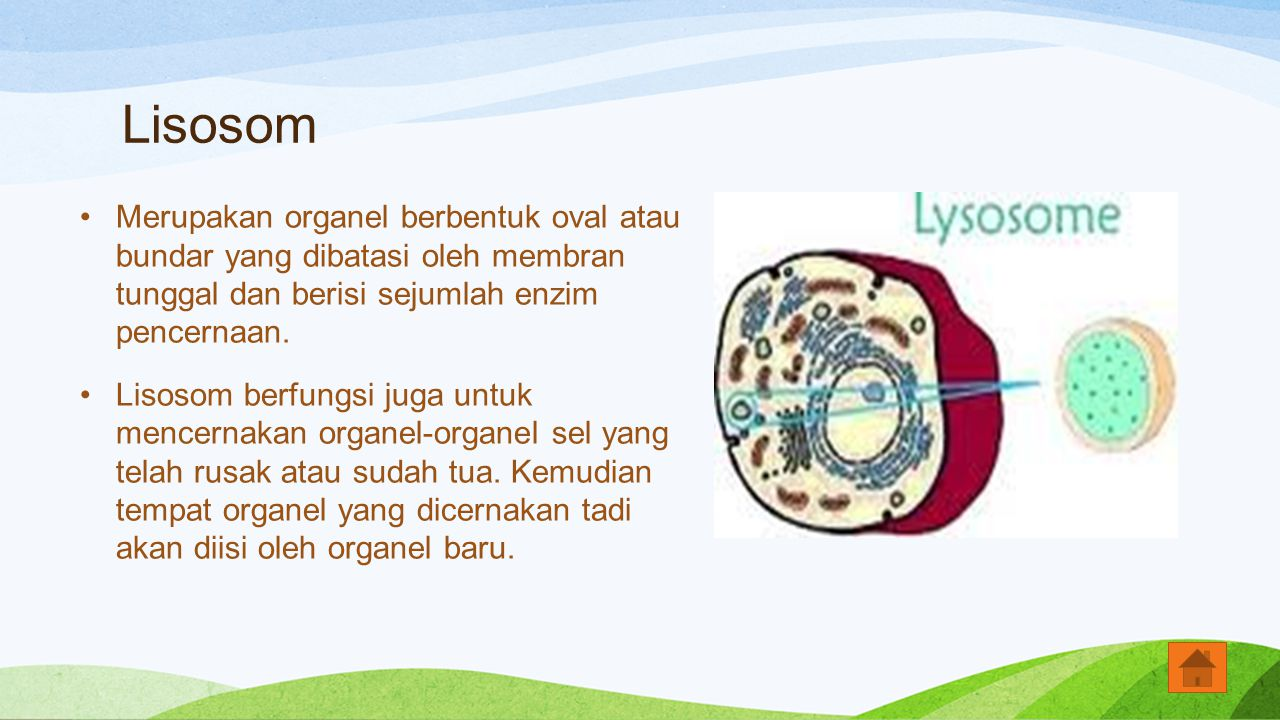 Lisosom Merupakan organel berbentuk oval atau bundar yang dibatasi oleh membran tunggal dan berisi sejumlah enzim pencernaan.