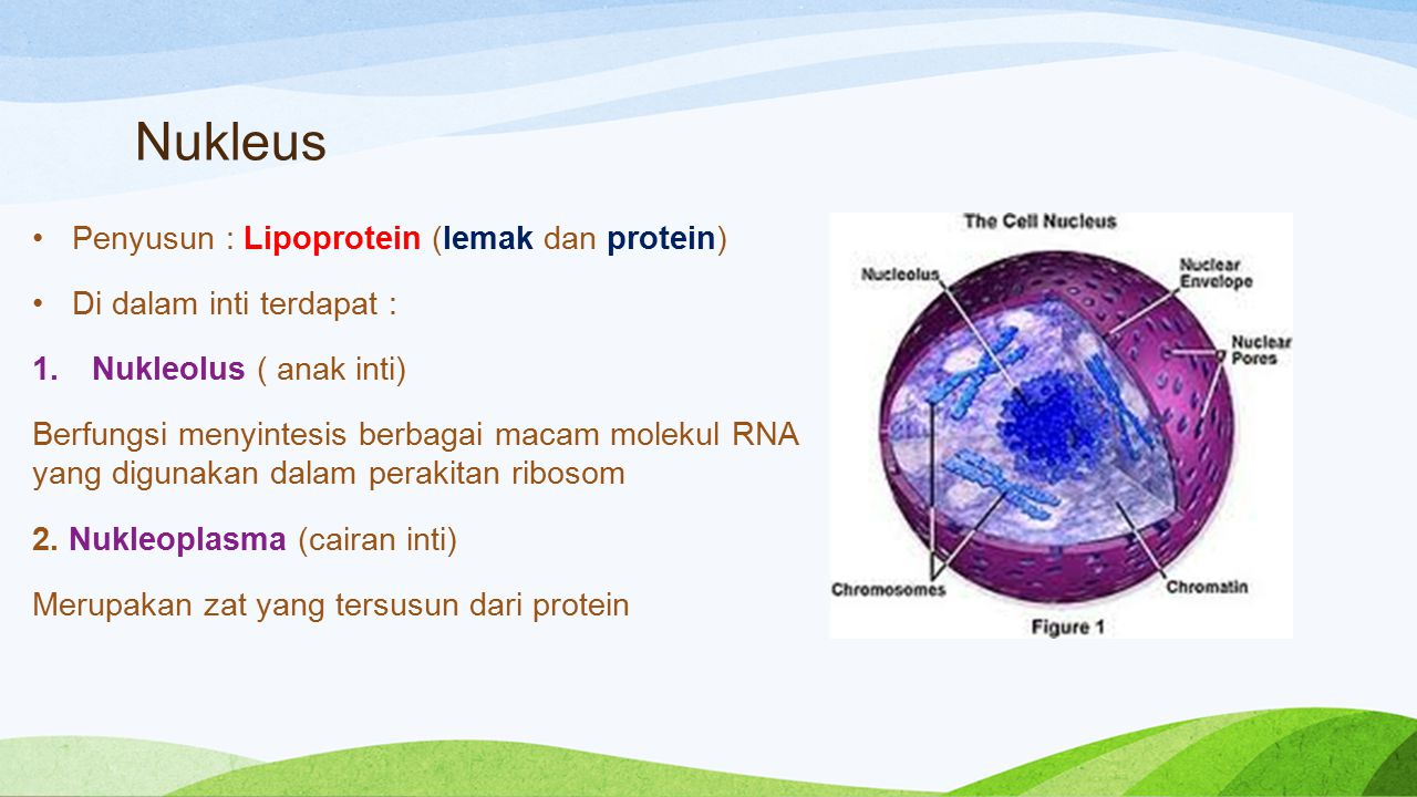 Nukleus Penyusun : Lipoprotein (lemak dan protein)