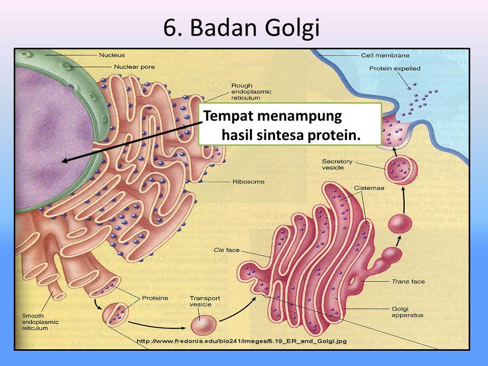 6. Badan Golgi Tempat menampung hasil sintesa protein.