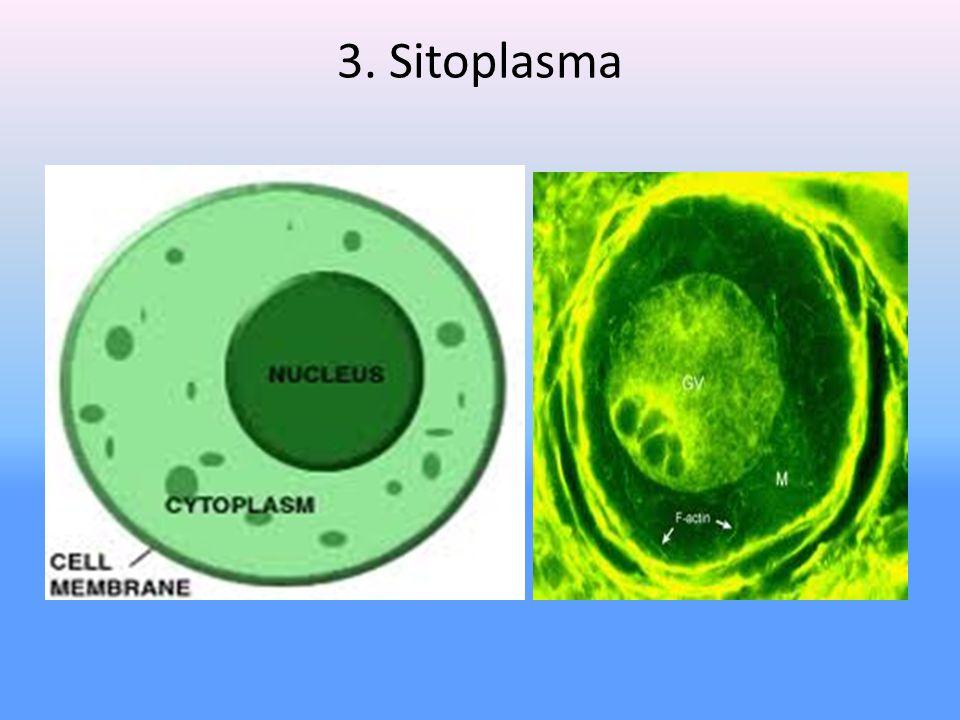 3. Sitoplasma