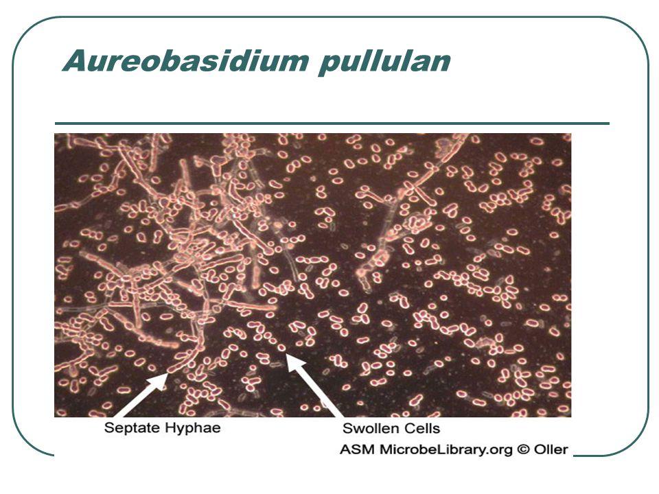 Aureobasidium pullulan
