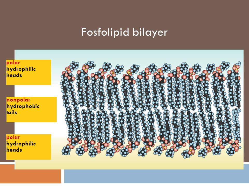 Fosfolipid bilayer polar hydrophilic heads nonpolar hydrophobic tails