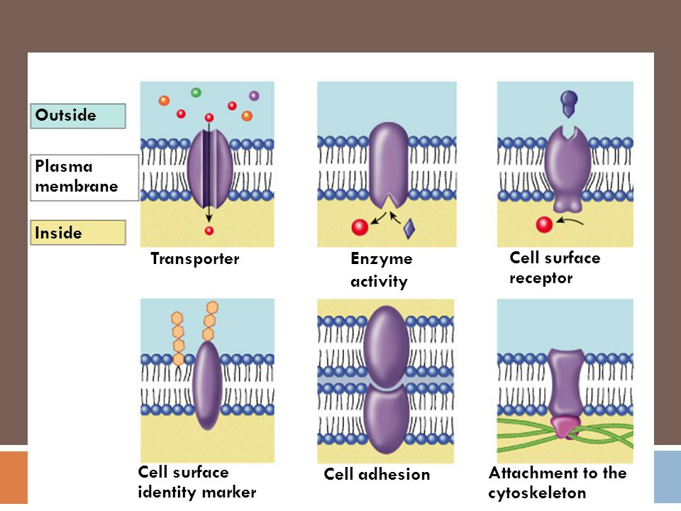 Outside Plasma. membrane. Inside. Transporter. Enzyme activity. Cell surface receptor. Cell surface identity marker.