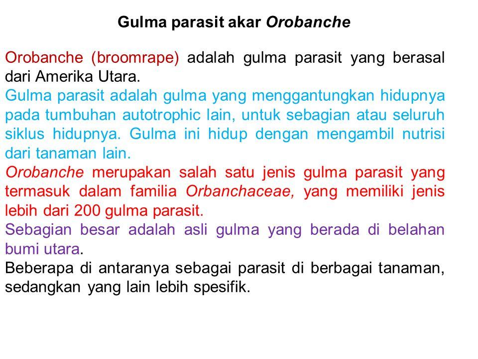 Gulma parasit akar Orobanche