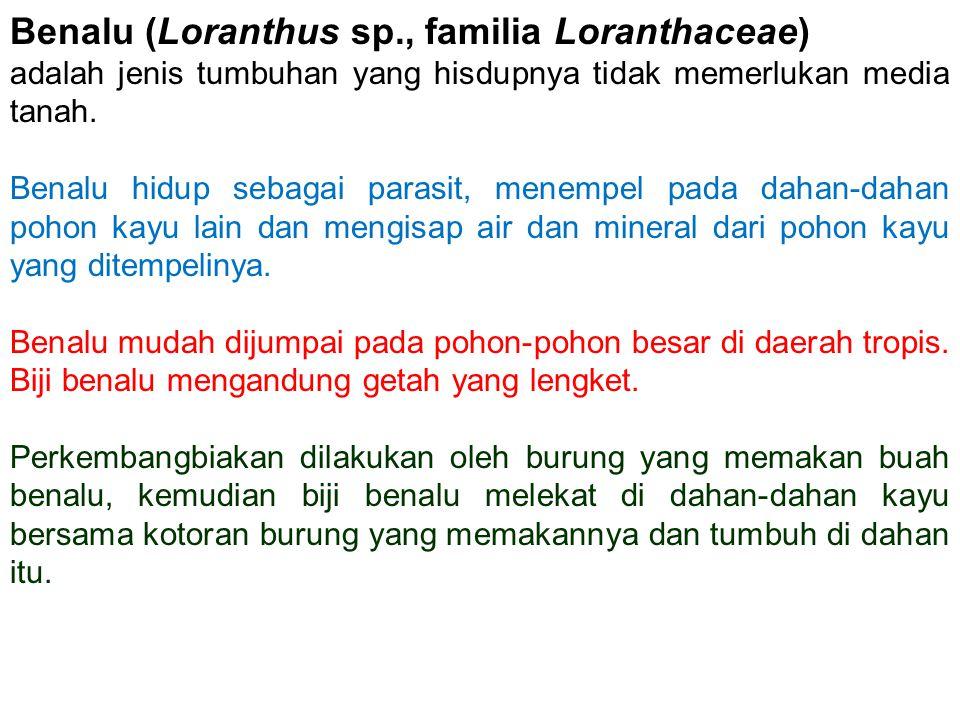 Benalu (Loranthus sp., familia Loranthaceae)