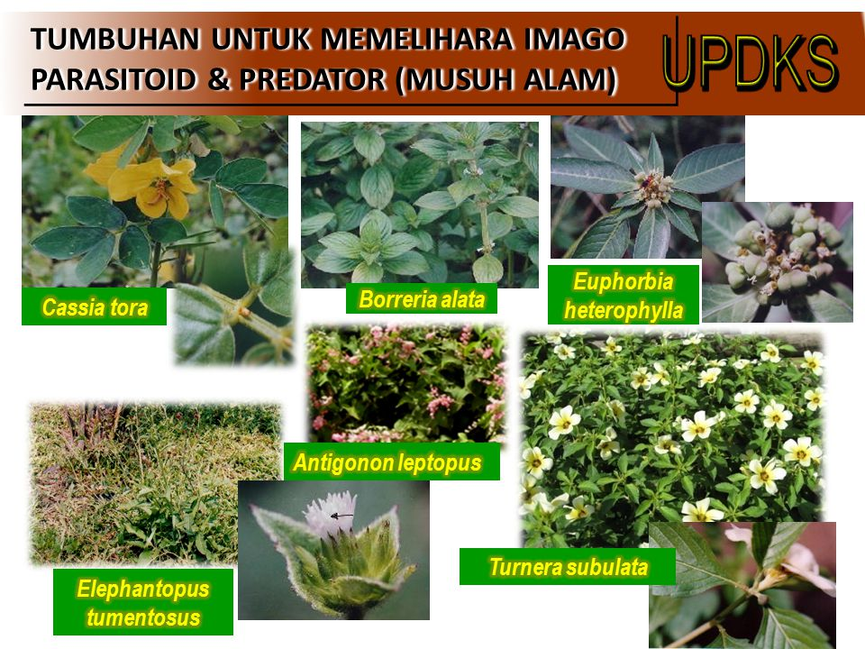 Euphorbia heterophylla Elephantopus tumentosus