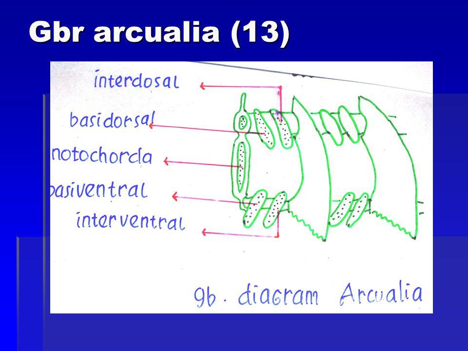 Gbr arcualia (13)