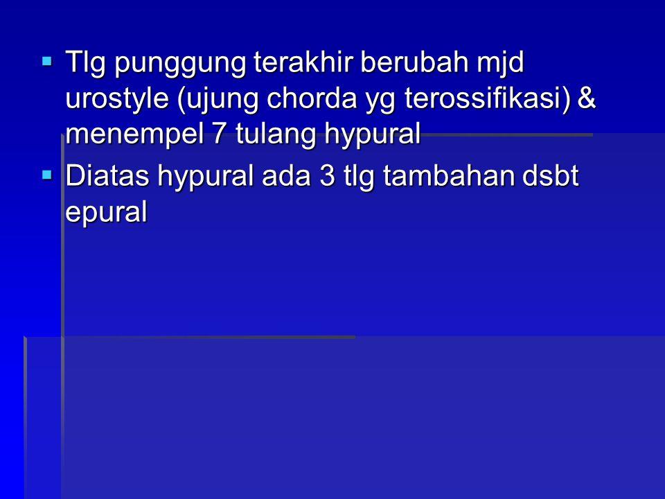 Tlg punggung terakhir berubah mjd urostyle (ujung chorda yg terossifikasi) & menempel 7 tulang hypural