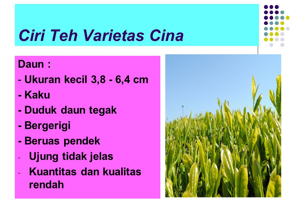 Ciri Teh Varietas Cina Daun : - Ukuran kecil 3,8 - 6,4 cm - Kaku