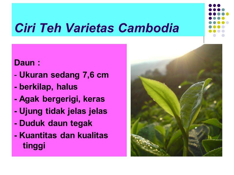 Ciri Teh Varietas Cambodia