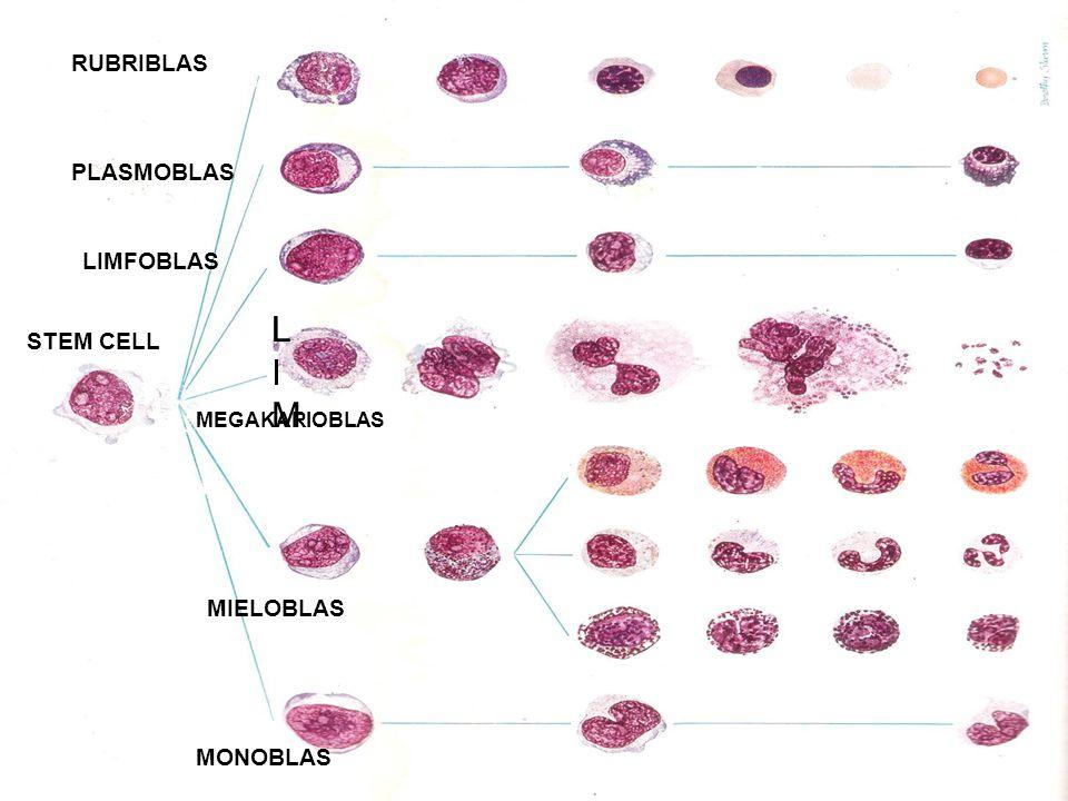 LI LIM RUBRIBLAS PLASMOBLAS LIMFOBLAS STEM CELL MIELOBLAS MONOBLAS