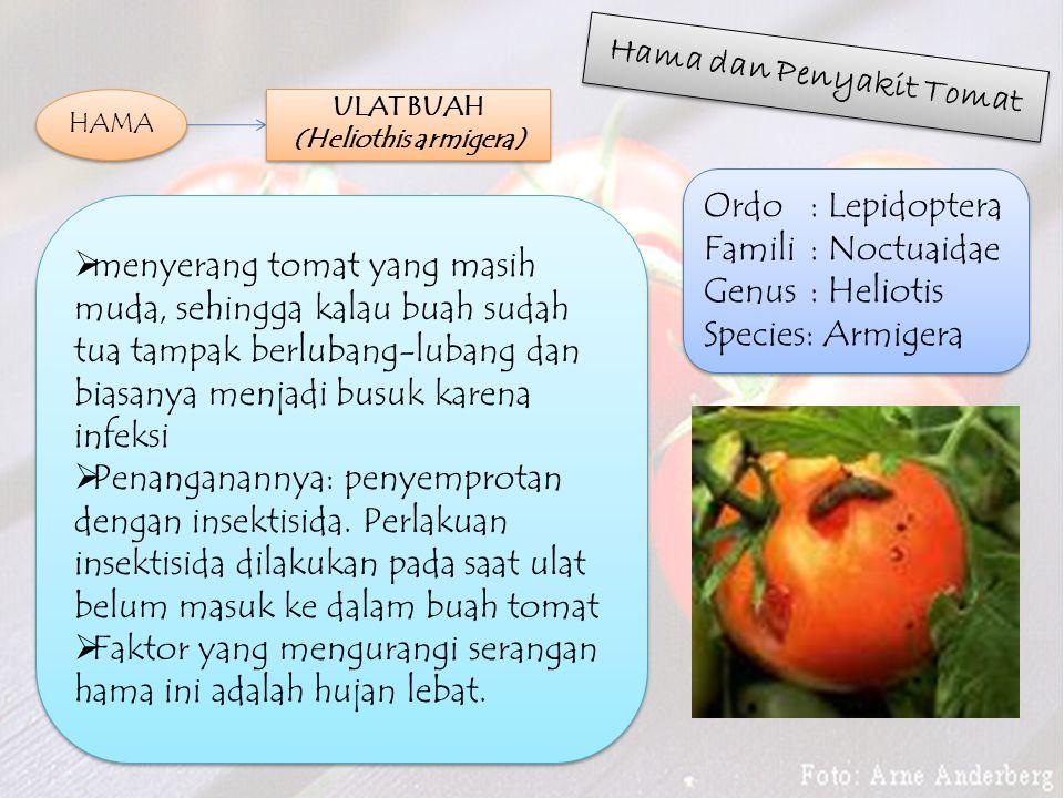 Hama dan Penyakit Tomat ULAT BUAH (Heliothis armigera)