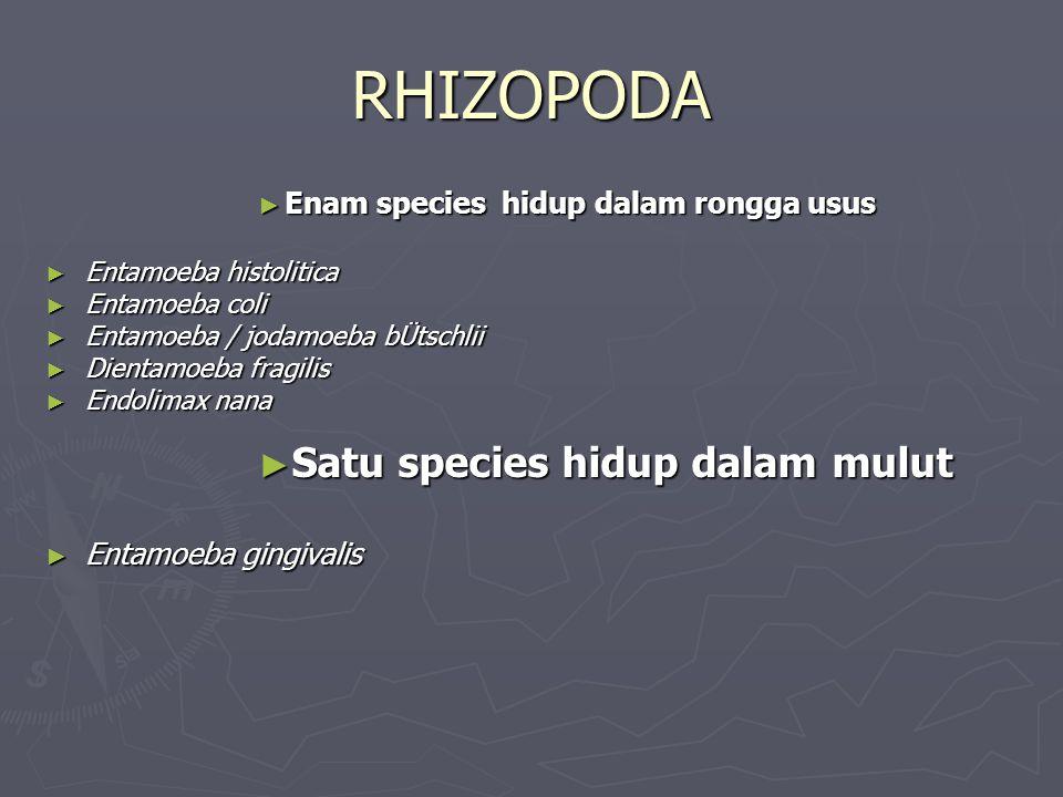 RHIZOPODA Satu species hidup dalam mulut