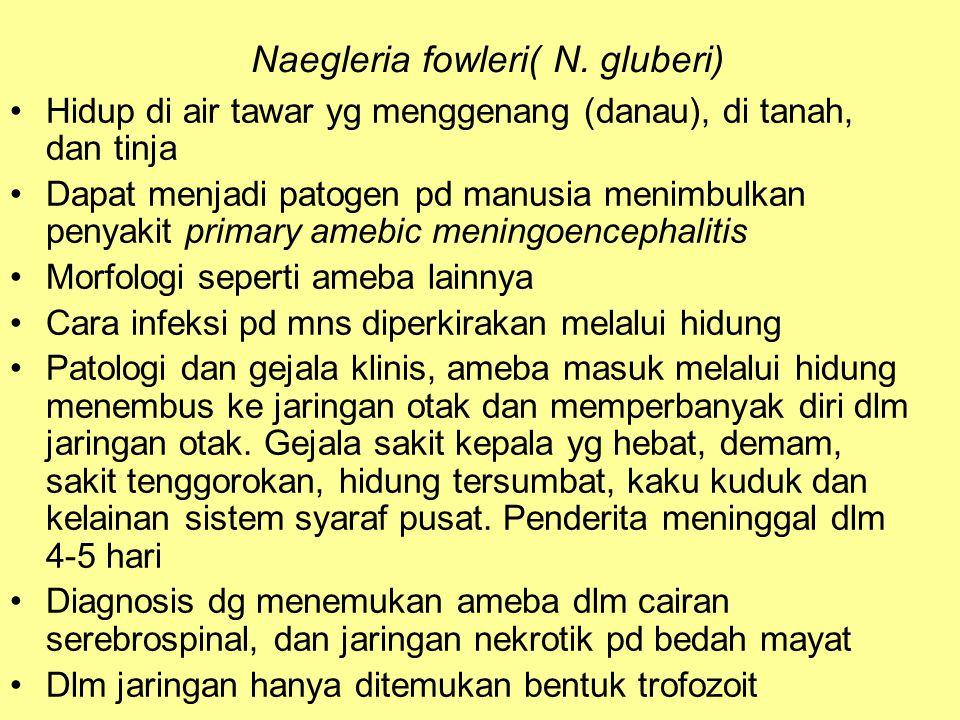 Naegleria fowleri( N. gluberi)